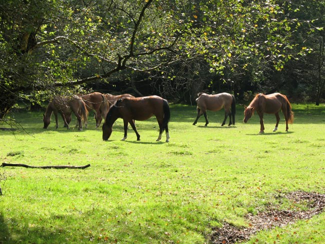 New Forest Ponies - Pyesmead Farm